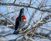 red-winged blackbird (Pattys-photos) Tags: redwinged blackbird pattypickett4748gmailcom pattypickett