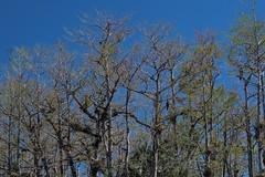 Trees Along The Canal (ACEZandEIGHTZ) Tags: nikon d3200 tillandsias airplants everglades bigcypress turnerriverroad scenic