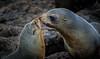 Fur Seals, Cape Palliser (Jos Buurmans) Tags: 2animals animals capepalliser furseal marinelife nature newzealand northisland palliserbay pinnipeds seals southwairarapa wairarapa wellington wildlife nz