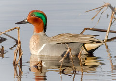 Green-winged Teal Drake (tresed47) Tags: 2018 201803mar 20180306bombayhookbirds birds bombayhook canon7d content delaware ducks folder greenwingedteal march peterscamera petersphotos places season takenby teal us winter ngc npc