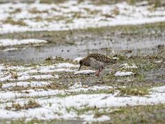 P3190429 (turbok) Tags: kampfläufer tiere vögel wildtiere c kurt krimberger