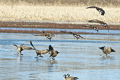 Coming In For A Landing (pecooper98362) Tags: binghamton newyork broomecounty fallonroad wetlands bolandpond thomascreek marsh winter cold winterwetlands geese canadageese brantacandensis crategeese flock onthewing cominginforalanding
