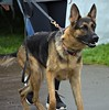 Pointed Ears (Scott 97006) Tags: shepherd dog canine animal pet cute ears perky watchful alert