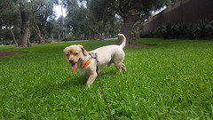 Lima - Parque El Olivar (Santiago Stucchi Portocarrero) Tags: lima perú santiagostucchiportocarrero roni perro can cane hund hound dog chien sanisidro parqueelolivar