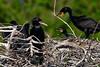 Double Crested Cormorants (bmasdeu) Tags: double crested cormorants birds nest baby wetlands florida wildlife springtime