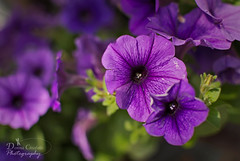 Where the Tender Things Grow (donna.chiofolo (off and on)) Tags: nature flower purple passion growth details poetry composition colors depth light tenderness atmosphere mood moodphotography