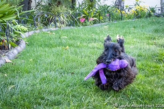 20180315  My Happy Girl  9923-Edit (Laurie2123) Tags: fujixt2 laurieturnerphotography laurietakespics laurie2123 maggie missmaggie scottie scottishterrier backyard blackscottishterrier blackdog