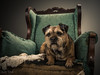 Oscar (Simon Rich Photography) Tags: dog pet portrait model studio lighting border terrier cute attitude pose distrssed chair simonrich simonrichphotography mrmonts canon