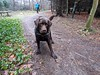 Waiting for a Stick to be Kicked (Pyrolytic Carbon) Tags: hudson hudsonbrunton labrador chocolatelabrador mobile trees leaves path