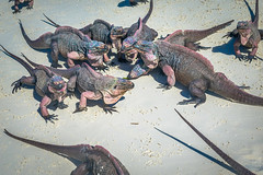 So many iguanas fighting for the celery we were feeding them