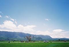 (YL.H) Tags: colorplus canon 500n 台東 taiwan 池上 底片 film kodak paddy farmland analog