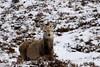 wentwest (walter.innes) Tags: walterinnes glenshee snowcappedmountains reddeer grouse