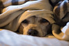 Wha?? I missed St. Patrick's Day? (M.D. Photos) Tags: dog hund chihuahua male rescue snuggly underthesheets naptime