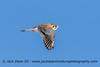 American Kestrel (jackdean3) Tags: american kestrel male jack dean kentucky falcon nature flight raptor