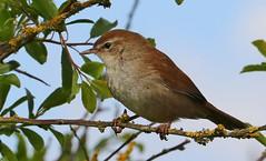 Cetti's Warbler - Cettia cetti - Lodmoor RSPB Dorset - 270417 (52) (ailognom2005) Tags: cettiswarbler cettiacetti lodmoorrspbdorset rspbreserves rspb dorset dorsetwildlife birds wildbirds