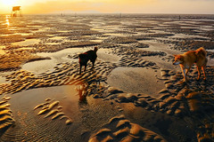 The dogs on the beach (-clicking-) Tags: sunrise sunlight sunshine dog animals pet sand beach onthebeach cầngiờ vietnam