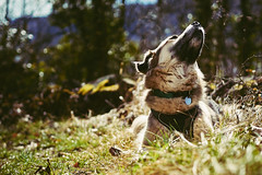 13/52 – spring is in the air (stephubik) Tags: candork dog portrait sniffing 52weeksfordogs