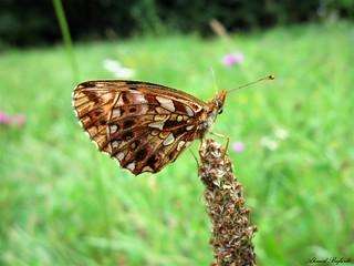 Butterfly 1627