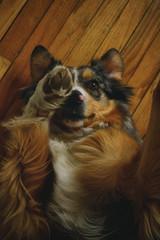Such a Ham (flashfix) Tags: march292018 2018inphotos ottawa ontario canada nikond7100 28mm nikon flashfix flashfixphotography portrait ham sock dog canine animal pet austrailanshepherd triaustrailanshepherd bluemerle tricolour heterochromia