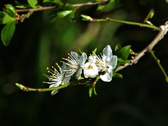 happy equinox to all ! (fotomie2009) Tags: pruno prunus white wild wildflower spontaneous spontaneo nature flower fiore flora equinox spring