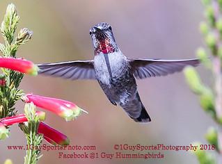 Humming Birds at Arboretum in Santa Cruz