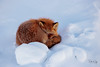 Got my Eye on You (Dan King Alaskan Photography) Tags: redfox fox vulpesvulpes snow tundra nap northslope alaska canon80d sigma150600mm