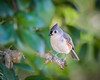 Backyard Tufted Titmouse 03-23-2018  (4 of 9) (Jerry's Wild Life) Tags: backyardtitmouse songbird songbirds titmouse tufted tuftedtitmouse backyard backyardtuftedtitmouse
