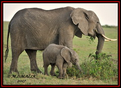 FEMALE AFRICAN ELEPHANT WITH CALF (Loxodonta africana)....MASAI MARA....OCT 2017 (M Z Malik) Tags: nikon d3x 200400mm14afs kenya africa safari wildlife masaimara keekoroklodge exoticafricanwildlife elephants ngc npc
