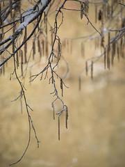 Encore des chatons * (Titole) Tags: catkins titole nicolefaton branches shallowdof