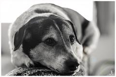Profundo Olhar (Rhyan Fallci) Tags: dog cachorro pb blackandwhite canon brasil