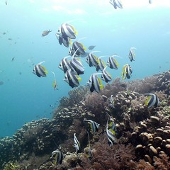 Moorish Idols (jd1001) Tags: coral reeffish underwater scubadiving mafiaisland tanzania march 2018 sealifecamera dc1400