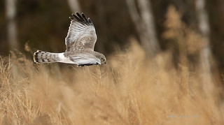 Busard Saint-Martin \ Northern Harrier