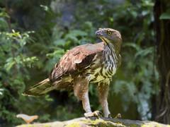 Changeable hawk-eagles (Spizaetus) _ JBP ☺☺☺ (mahi mahi 163) Tags: ospreys eagle 80400mm singapore jbp