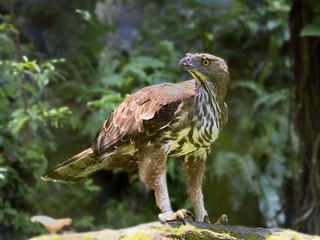 Changeable hawk-eagles (Spizaetus) _ JBP ☺☺☺