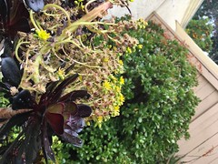 Garden in April 2018 - Aeonium Flowers (hinxlinx) Tags: succulents plant garden backyard aeonium flower flowers