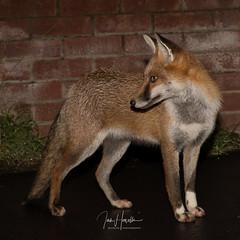 Urban Fox (Ian howells wildlife photography) Tags: ianhowellswildlifephotography wildlife wildlifephotography urban fox urbanfox nature naturephotography nationalgeographic n