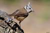 Chapim de Poupa - Crested Tit - Parus crista (Yako36) Tags: portugal arrábida bird ave birdwatching nature natureza nikonafs300f4 nikond7000