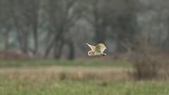On the hunt... {explored} (Cosper Wosper) Tags: barn owl somerset levels explored