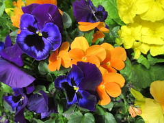 Saturday, 7th, Purple pansies IMG_6026 (tomylees) Tags: georgeyard braintree essex april 2018 7th saturday project 365