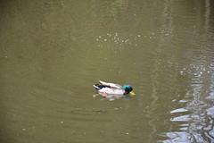 DSC_2925 (jannessteen) Tags: sliedrecht southholland drechtsteden netherlands holland birds ducks statue fulions