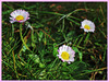 A Daliance with Daisies (JulieK (thanks for 6 million views)) Tags: htt texturaltuesday daisy wildflowers garden 100flowers2018 2018onephotoeachday topazglow postprocessed canoneos100d bellisperennis sliderssunday hss