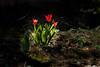 Red Tulips (I-Like-My-Fotos-RAW) Tags: tulips flower flowers tulpe blume blumen grün green light licht garden garten macro bokeh collores farben mature natur 50mm canon200d makro pflanze red rot tulip nature