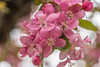 plum pretty blossoms (Pejasar) Tags: plum ornamental floweringtree pink blooms blossoms flowers spring tulsa oklahoma nikon d7200 bokeh