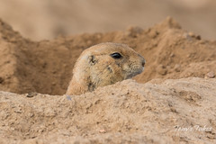 Prairie Dogs hanging out at home