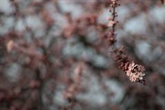 Vintage Lens Blossom (linda.richtersz) Tags: canon6dm2 meyeroptikgorlitsorestor 135mmf28 spring blossom pink flowers bokeh vintage lens