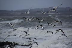 Oystercatchers in Flight (steve_whitmarsh) Tags: aberdeen scotland nature wildlife animal birds coast beach rocks pebble water sea ocean oystercatcher inflight