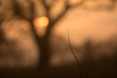Sunrise Today (Glavind Strachan Photography) Tags: tree northlew farm culminar steinheil vintagelens legacylens sunrise dof depth field manuallens sonya7r sony devon
