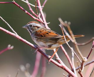 Swamp-Sparrow-32w