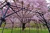 KAMIGAMO (tez-guitar) Tags: cherry tree weeping bloom blossom pentax wide kyoto japan flower spring shrine world heritage pentaxart
