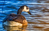 Canada Goose (Subdive) Tags: bird canoneos80d fågel hjälstavikensnaturreservat natur nature sverige sweden wildlife canadagoose birdphotography waterbird goose sunset